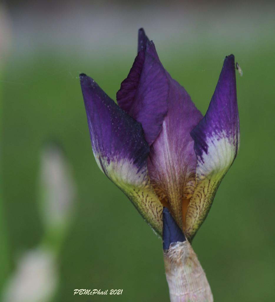 Purple Iris by selkie