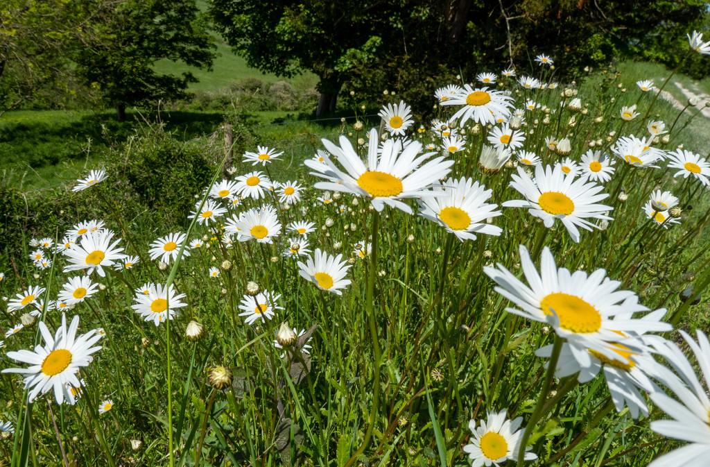 Daisy walk....... by susie1205