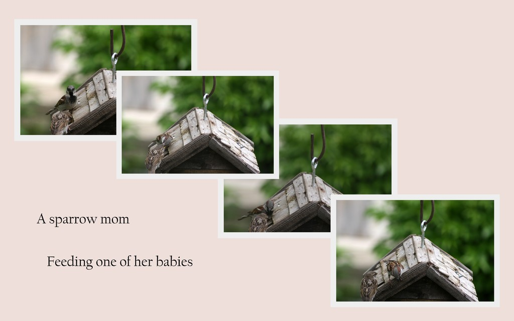 A mother sparrow feeding her baby by bruni