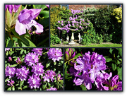 30th May 2021 - Rhododendron in the garden