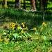 Montana Arrowleaf Balsamroot wildflowers