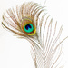 Peacock Feather by yorkshirekiwi