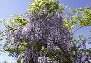 30th May 2021 - Wisteria