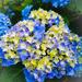 Blue hydrangea by randystreat