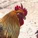 rooster_6556
