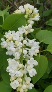 31st May 2021 - Lone White Lilac