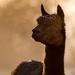 Back lit alpaca