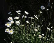 1st Jun 2021 - Michaelmas daisy