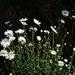 Michaelmas daisy by wakelys