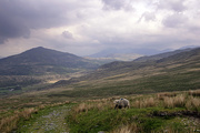 1st Jun 2021 - Lakeland sheep