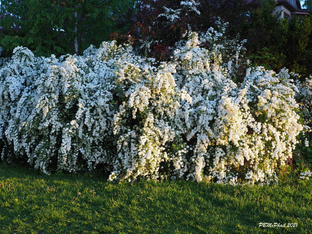 Bridal Wreath Spirea by selkie