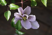 2nd Jun 2021 - the clematis is out