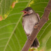 A young White-eared Bulbul! by ingrid01