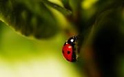 2nd Jun 2021 - Ladybird - Coccinella