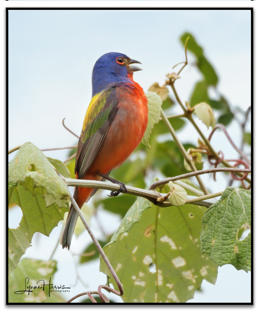 Painted Bunting II by lynne5477