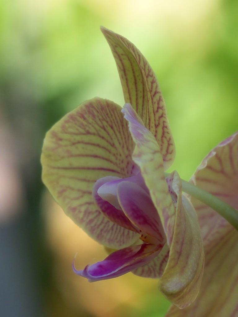 Phalaenopsis... by marlboromaam