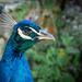 Kentwell peacock