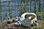 2nd Jun 2021 - Look at these dear little cygnets