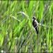 Reed warbler by rosiekind