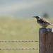 Montana State Bird!