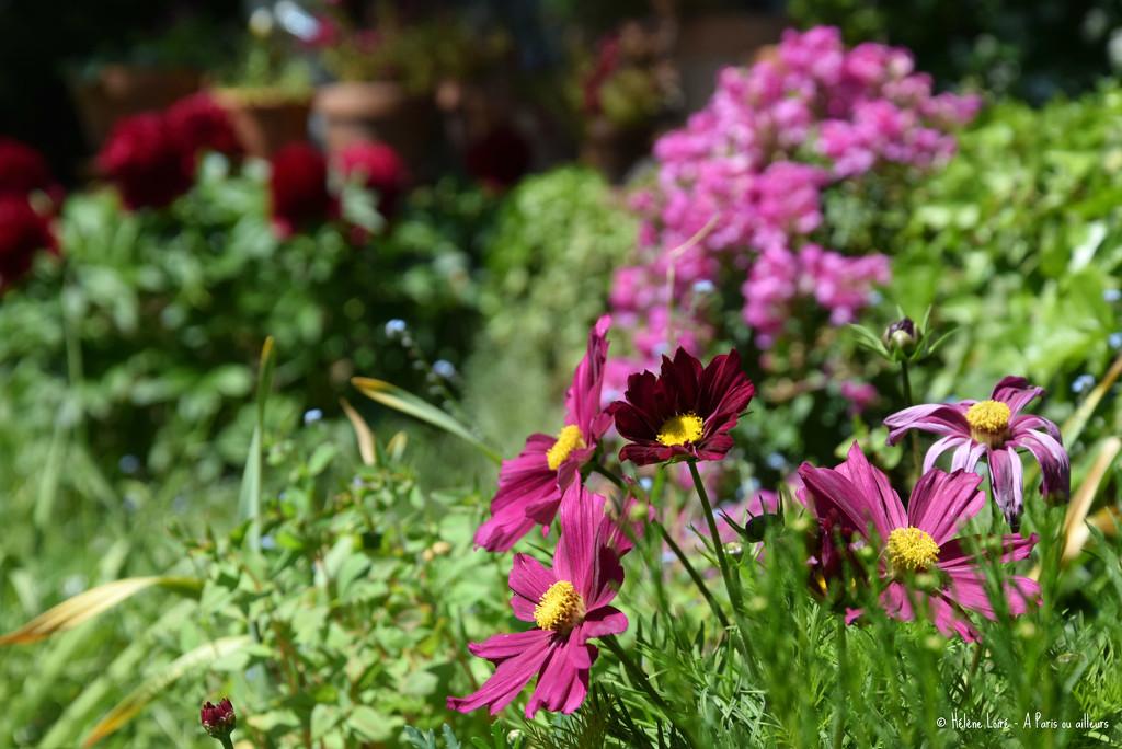 pink flowers by parisouailleurs