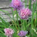 The Flowers of Chives