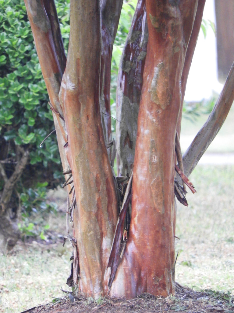 Crepe Myrtle tree trunk by homeschoolmom
