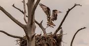 2nd Jun 2021 - Osprey Mom Bringing in Nesting Materials!