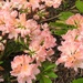 Azalea in the Garden 2