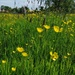 30 Days Wild 3 - Buttercups and grasses