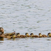 Mum Wood Duck and her Ducklings by sprphotos