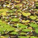 Swamp Lillies