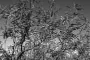 4th Jun 2021 - mesquite tree detail