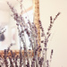 Dried Lilacs