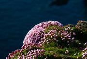 3rd Jun 2021 - Sea Pinks