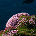 Sea Pinks by lifeat60degrees