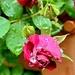 Roses...already.