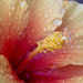 Hibiscus Flower by pdulis