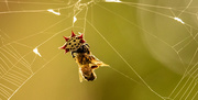 3rd Jun 2021 - Spiny-Backed Orb-weaver With It's Catch!
