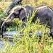 A thirsty Elephant