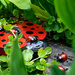 Garden ladybirds