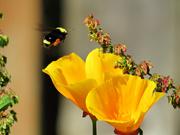 4th Jun 2021 - Bumble Bee