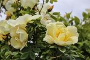 4th Jun 2021 - Rambling Rose