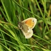 Small Heath Butterfly by julienne1