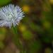 Unknown wildflower...