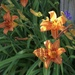 Day Lilies at the End of the Day