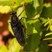 Black Flying Bug!