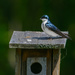 Tree Swallow by sprphotos