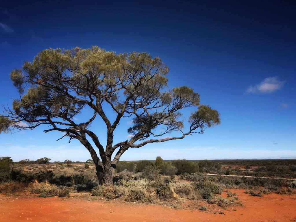 Outback tree by pusspup