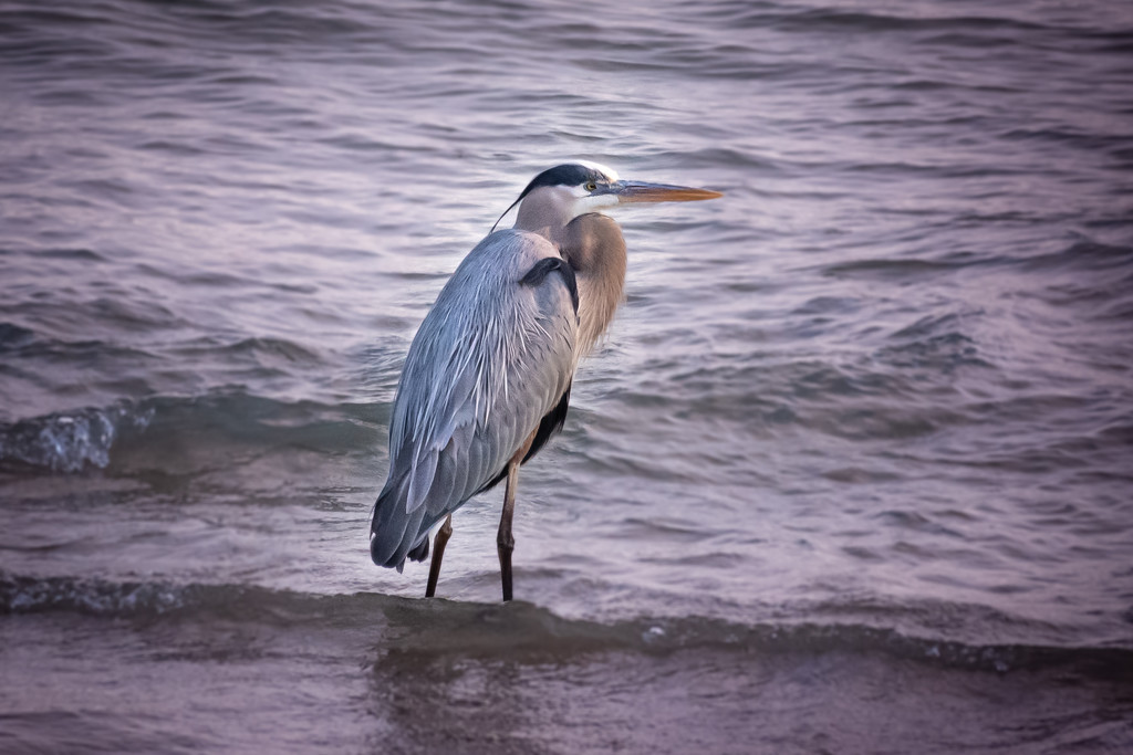Great Blue Heron by pattyp